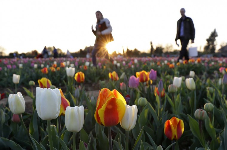 People visit the first Italian tulip field, planted by a Dutch couple to recreate the tradition in the Netherlands where you can pick your own tulip, in Cornaredo, near Milan, Italy, Wednesday, March 28, 2017. (AP Photo/Antonio Calanni)