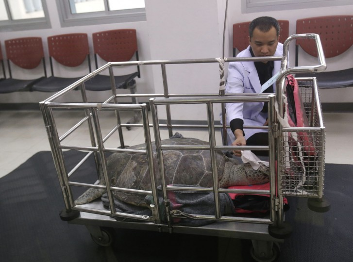 "Veterinarian Passakorn Brikshavana examines he female green green turtle nicknamed ""Bank"" in a cart after her surgery at Chulalongkorn University's veterinary faculty in Bangkok, Thailand, Monday, March 6, 2017. Veterinarians operated Monday on ""Bank,"" removing less than 1,000 coins from the endangered animal. Her indigestible diet was a result of many tourists seeking good fortune tossing coins into her pool over many years in the eastern town of Sri Racha. (AP Photo/Sakchai Lalit)"