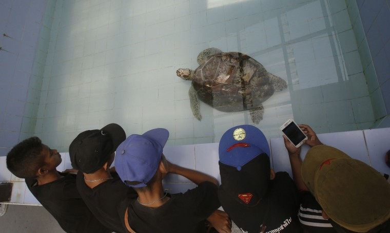 "In this Friday, March 3, 2017 photo, young visitors watch the female green green turtle nicknamed ""Bank"" swim in a pool at Sea Turtle Conservation Center n Chonburi Province, Thailand. Veterinarians operated Monday, March 6, 2017, on ""Bank,"" removing less than 1,000 coins from the endangered animal. Her indigestible diet was a result of many tourists seeking good fortune tossing coins into her pool over many years in the eastern town of Sri Racha. (AP Photo/Sakchai Lalit)"