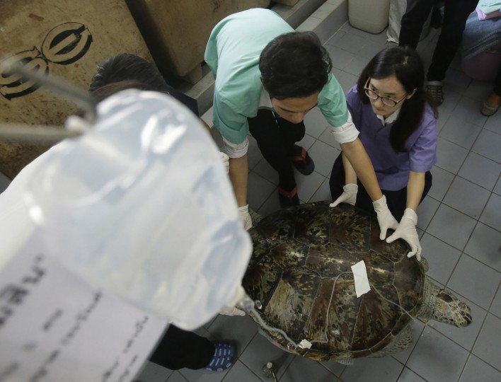 "Head of Chulalongkorn University's veterinary medical aquatic animal research center Nantarika Chansue injects a saline solution as part of a rehabilitation treatment for the 25-year-old green sea turtle ""Bank"" in Bangkok, Thailand, Friday, March 10, 2017. Veterinarians operated on Bank Monday to remove 915 coins weighing 5 kilograms (11 pounds) from her stomach, which she swallowed after misguided human passers-by tossed coins into her pool for good luck in eastern Thailand. (AP Photo/Sakchai Lalit)"