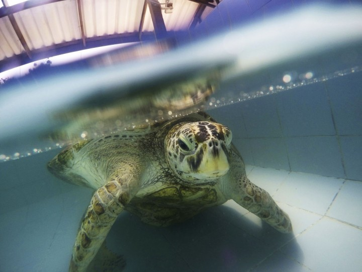 """In this Friday, March 3, 2017 photo, the female green green turtle nicknamed """"Bank"""" swims in a pool at Sea Turtle Conservation Center n Chonburi Province, Thailand. Veterinarians operated Monday, March 6, 2017, on """"Bank,"""" removing less than 1,000 coins from the endangered animal. Her indigestible diet was a result of many tourists seeking good fortune tossing coins into her pool over many years in the eastern town of Sri Racha. (AP Photo/Sakchai Lalit)"""