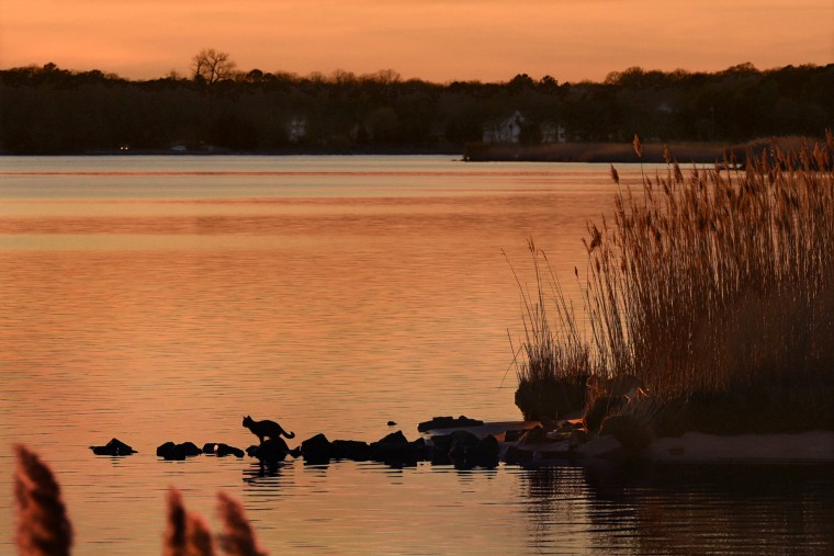 A cat perches on rocks in the Choptank River at dusk, as another cat remains partially hidden by the tall grass. In Harriet Tubman's time, this river was teeming with herring, shad, bass, yellow perch and catfish. (Amy Davis/Baltimore Sun)