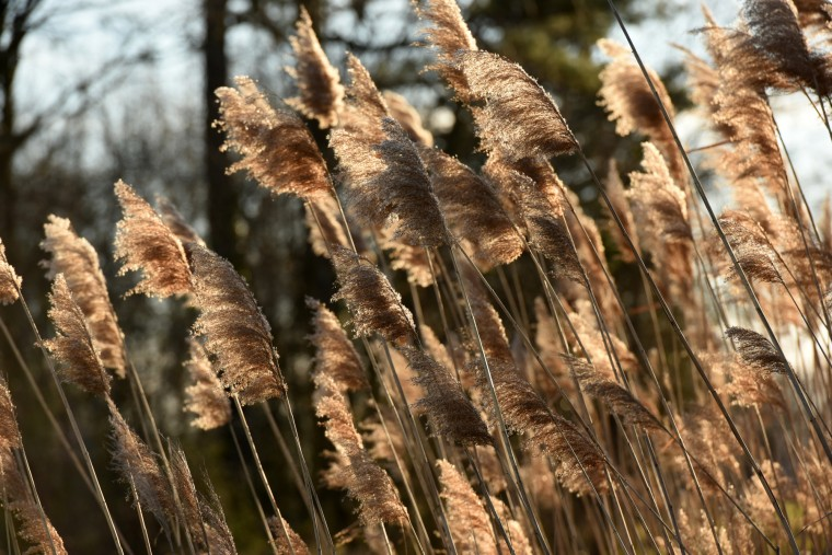 The ubiquitous European variety of phragmites, a wetlands grass, is more invasive than the native grasses that would have been common in Harriet Tubman's day.  (Amy Davis/Baltimore Sun)