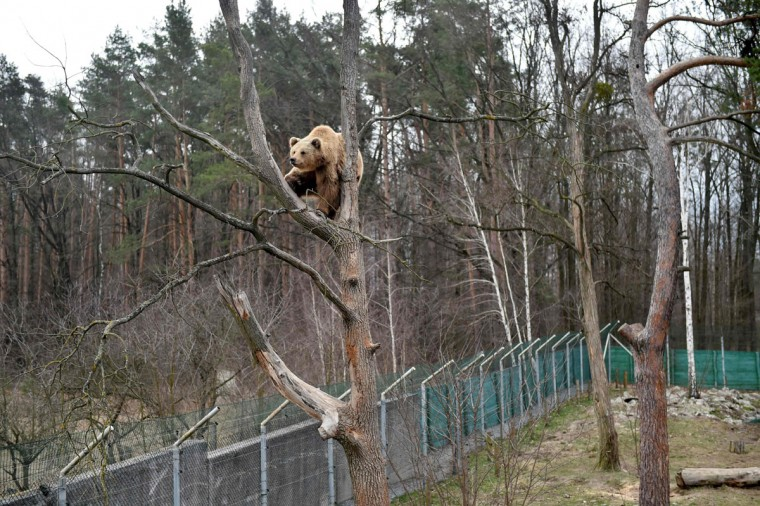A brown bear sits on a tree in a shelter for bears rescued from circuses and private restaurants of Ukraine, near Zhytomyr, some 150 km west of Kiev, on March 24, 2017. Tortured for years by human hands these mighty animals got a chance to start it all over again in a shelter near the city of Zhytomyr, in the northwest of the country. Opened in 2012 by international animal charity Four Paws, the rescue centre soon became one of the biggest sights of the region. (SERGEI SUPINSKY/AFP/Getty Images)