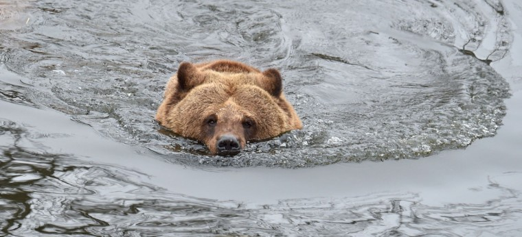 A brown bear swims in an artificial lake in a shelter for bears rescued from circuses and private restaurants of Ukraine, near Zhytomyr, some 150 km west of Kiev, on March 24, 2017. Tortured for years by human hands these mighty animals got a chance to start it all over again in a shelter near the city of Zhytomyr, in the northwest of the country. Opened in 2012 by international animal charity Four Paws, the rescue centre soon became one of the biggest sights of the region. (SERGEI SUPINSKY/AFP/Getty Images)