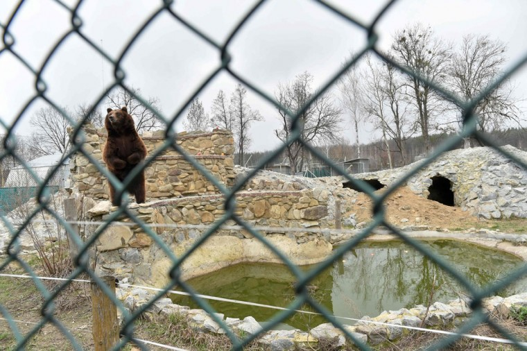 A brown bear stands on its hind legs as it sees approaching visitors in a shelter for bears rescued from circuses and private restaurants of Ukraine, near Zhytomyr, some 150 km west of Kiev, on March 24, 2017. Tortured for years by human hands these mighty animals got a chance to start it all over again in a shelter near the city of Zhytomyr, in the northwest of the country. Opened in 2012 by international animal charity Four Paws, the rescue centre soon became one of the biggest sights of the region. (SERGEI SUPINSKY/AFP/Getty Images)