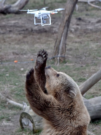A brown bear reacts to a quadrocopter drone launched by a visitor in a shelter for bears rescued from circuses and private restaurants of Ukraine, near Zhytomyr, some 150 km west of Kiev, on March 24, 2017. Tortured for years by human hands these mighty animals got a chance to start it all over again in a shelter near the city of Zhytomyr, in the northwest of the country. Opened in 2012 by international animal charity Four Paws, the rescue centre soon became one of the biggest sights of the region. (SERGEI SUPINSKY/AFP/Getty Images)