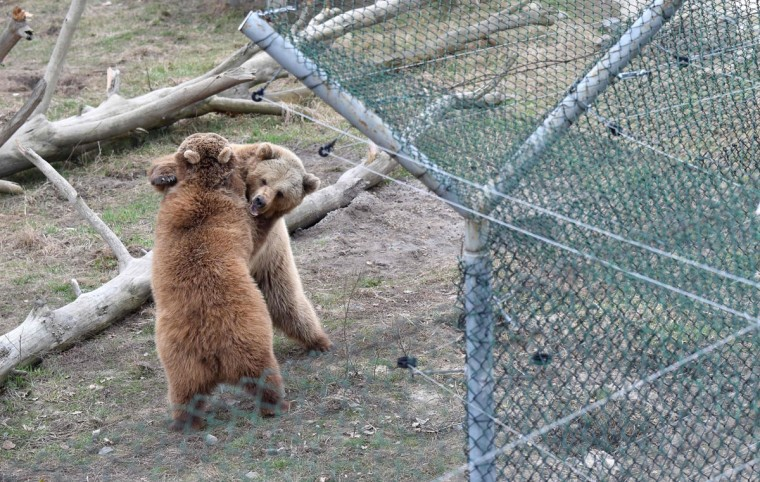 Brown bears play in a shelter for bears rescued from circuses and private restaurants of Ukraine, near Zhytomyr, some 150 km west of Kiev, on March 24, 2017. Tortured for years by human hands these mighty animals got a chance to start it all over again in a shelter near the city of Zhytomyr, in the northwest of the country. Opened in 2012 by international animal charity Four Paws, the rescue centre soon became one of the biggest sights of the region. (SERGEI SUPINSKY/AFP/Getty Images)