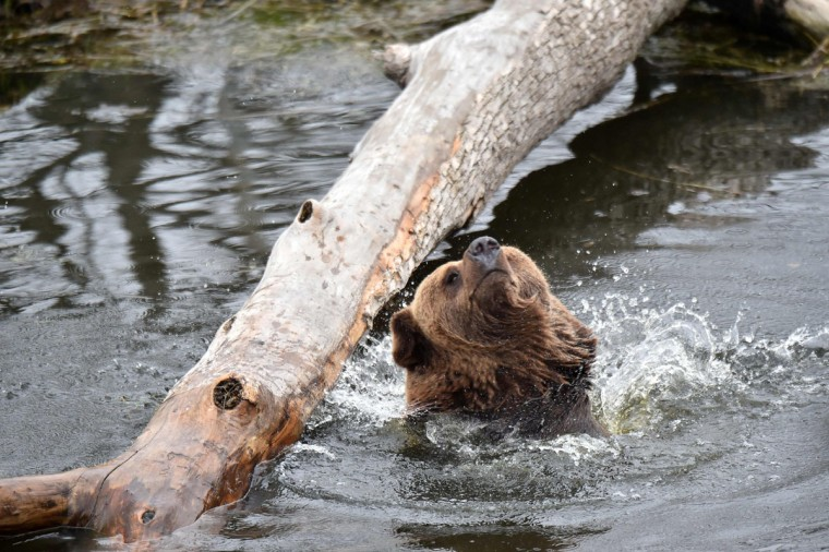 A brown bear shakes off an artificial lake in a shelter for bears rescued from circuses and private restaurants of Ukraine, near Zhytomyr, some 150 km west of Kiev, on March 24, 2017. Tortured for years by human hands these mighty animals got a chance to start it all over again in a shelter near the city of Zhytomyr, in the northwest of the country. Opened in 2012 by international animal charity Four Paws, the rescue centre soon became one of the biggest sights of the region. (SERGEI SUPINSKY/AFP/Getty Images)