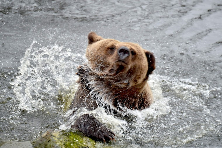 A brown bear shakes off in an artificial lake in a shelter for bears rescued from circuses and private restaurants of Ukraine, near Zhytomyr, some 150 km west of Kiev, on March 24, 2017. Tortured for years by human hands these mighty animals got a chance to start it all over again in a shelter near the city of Zhytomyr, in the northwest of the country. Opened in 2012 by international animal charity Four Paws, the rescue centre soon became one of the biggest sights of the region. (SERGEI SUPINSKY/AFP/Getty Images)