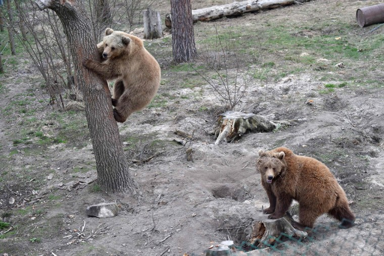 Brown bears play together in a shelter for bears rescued from circuses and private restaurants of Ukraine, near Zhytomyr, some 150 km west of Kiev, on March 24, 2017. Tortured for years by human hands these mighty animals got a chance to start it all over again in a shelter near the city of Zhytomyr, in the northwest of the country. Opened in 2012 by international animal charity Four Paws, the rescue centre soon became one of the biggest sights of the region. (SERGEI SUPINSKY/AFP/Getty Images)