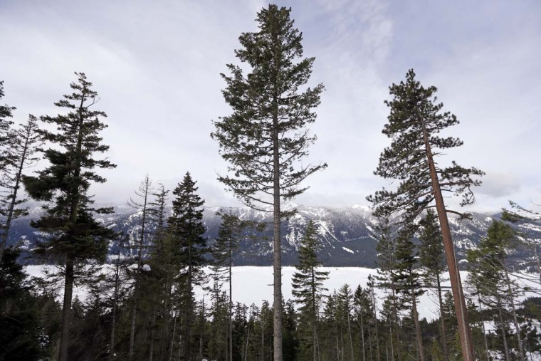 In this Feb. 22, 2017, photo, a Douglas fir, center, is left standing where a crew is thinning a 100-acre patch on private land owned by the Nature Conservancy overlooking Cle Elum Lake, in Cle Elum, Wash. As part of a broader plan by the nonprofit environmental group to restore the pine forests of the Central Cascades so they are more resilient to wildfires and climate change, they're cutting down trees to save the forest. (AP Photo/Elaine Thompson)