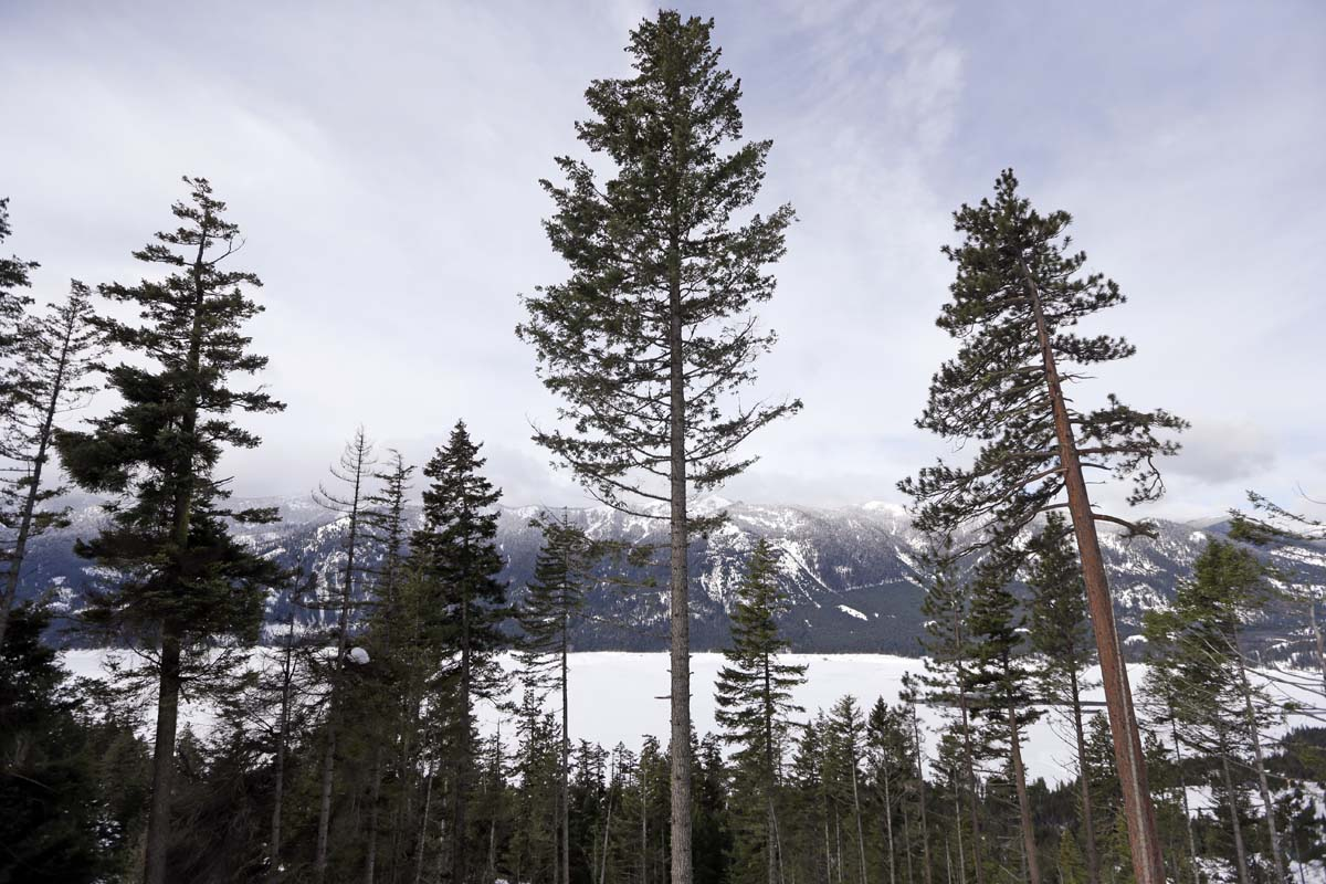 Cutting down trees to restore Washington forests