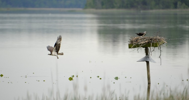 An Osprey flies from a platform as another remains on the nest.  (Kim Hairston/Baltimore Sun)