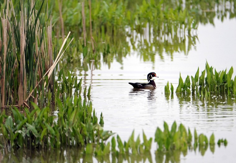 A Wood duck paddles among the vegetation in the Jug Bay Wetlands Sanctuary. (Kim Hairston/Baltimore Sun)