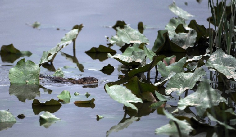 A muskrat swims in the Jug Bay Wetlands Sanctuary. (Kim Hairston/Baltimore Sun)