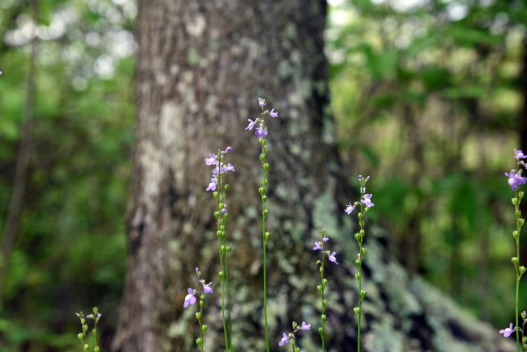 Blue Toadflax blooms along the Railroad Bed Trail in the Jug Bay Wetlands Sanctuary. (Kim Hairston/Baltimore Sun)