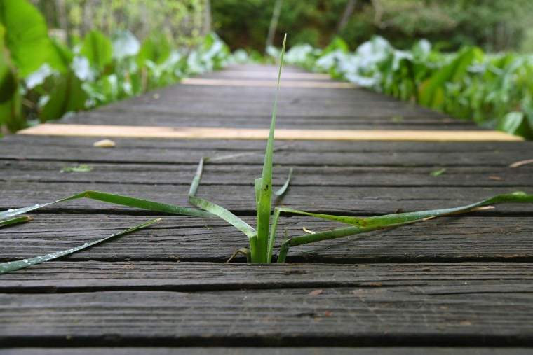A plant rises between planks of boardwalk in Black Walnut Creek Nature Study Area of the Patuxent River Park.  (Kim Hairston/Baltimore Sun)