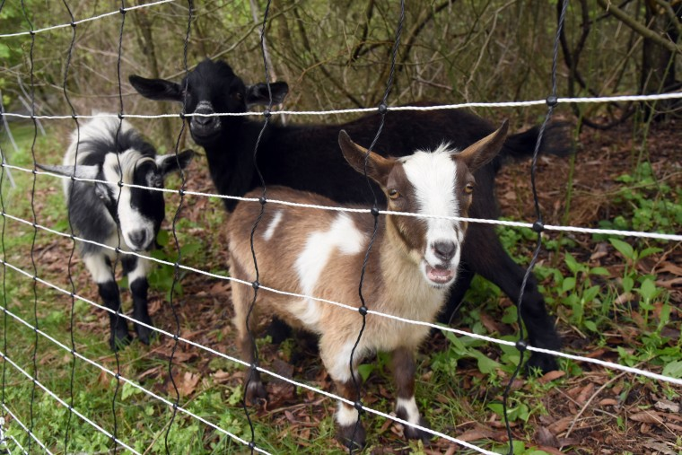 Three Dwarf Nigerian goats look out from an electric net fence at the Jug Bay Wetlands Sanctuary. The goats, left to right, Boots, Tux and Pax, graze on invasive species. (Kim Hairston/Baltimore Sun)