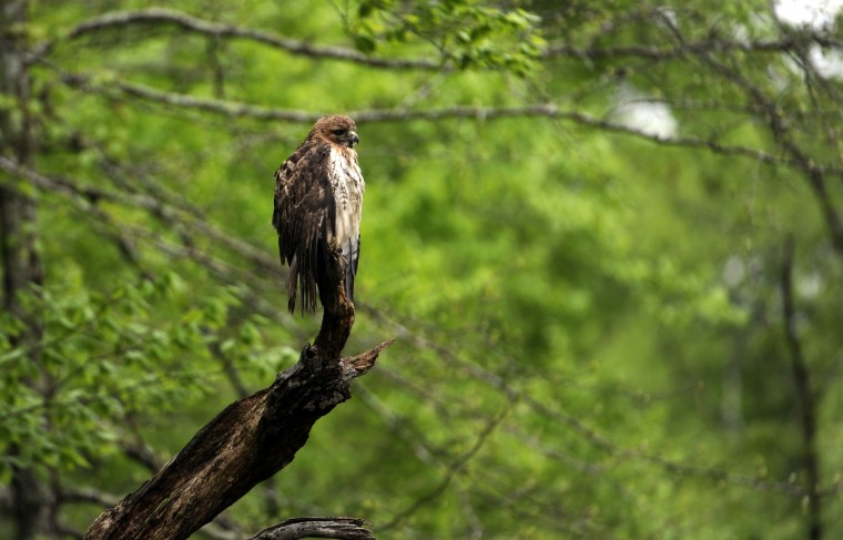 A Red-tailed hawk perches on dead tree branch near the boardwalk in Black Walnut Creek Nature Study Area at Patuxent River Park. (Kim Hairston/Baltimore Sun)
