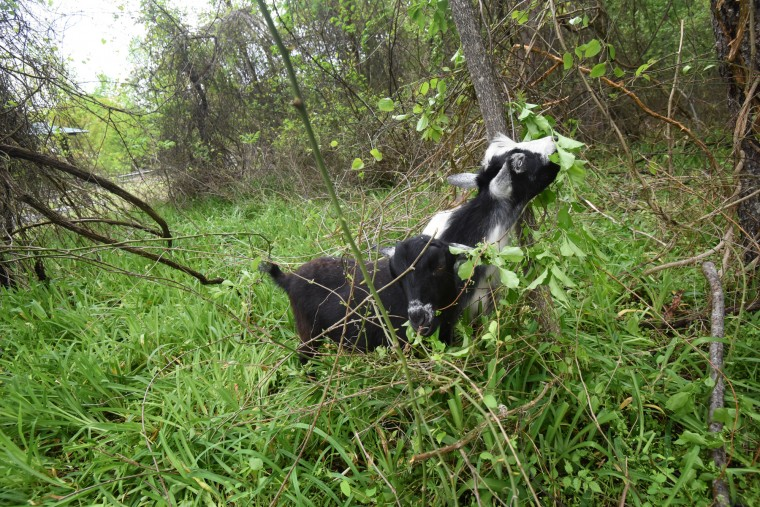 Tux and Boots, two of three Dwarf Nigerian goats at the Jug Bay Wetlands Sanctuary graze on bittersweet. The goats are used to clear areas of invasive plants.  (Kim Hairston/Baltimore Sun)
