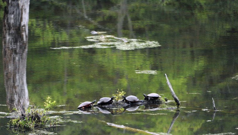 Painted turtles gather on a log in the Jug Bay Sanctuary near the Otter Point Trail at Jug Bay Natural Area. (Kim Hairston/Baltimore Sun)
