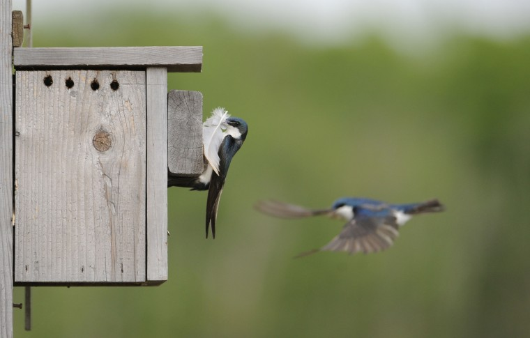 A Tree Swallow brings a feather into a nesting box as another flutters nearby. The birds are outside the observation blind off Railroad Bed Trail in the Jug Bay Wetlands Sanctuary. (Kim Hairston/Baltimore Sun)