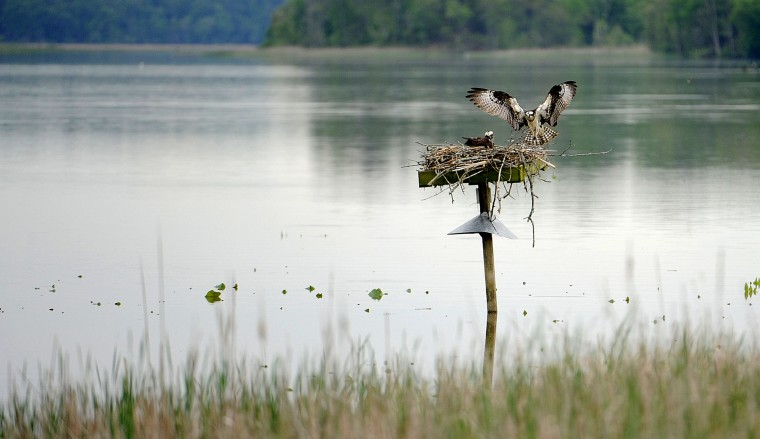 An Osprey flies from a platform as another remains on the nest.  The birds are seen from the observation blind off the Railroad Bed Trail in the Jug Bay Wetlands Sanctuary.  (Kim Hairston/Baltimore Sun)