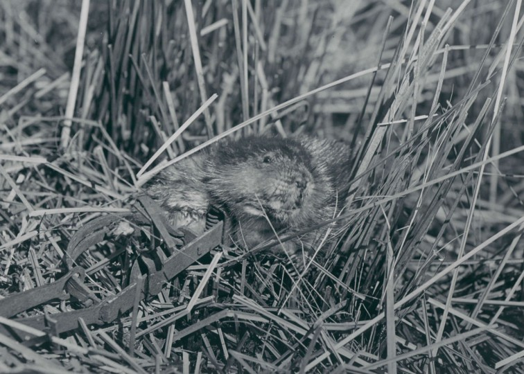 April 7, 1946 - MUSKRATS - From Marsh to Market -- The muskrat was captured alive in a ground trap. As the trapper picked it up it attempted to bite him. The rat was about 12 inches in length, with an 8-inch tail. Photo taken by Baltimore Sun Staff Photographer A. Aubrey Bodine.