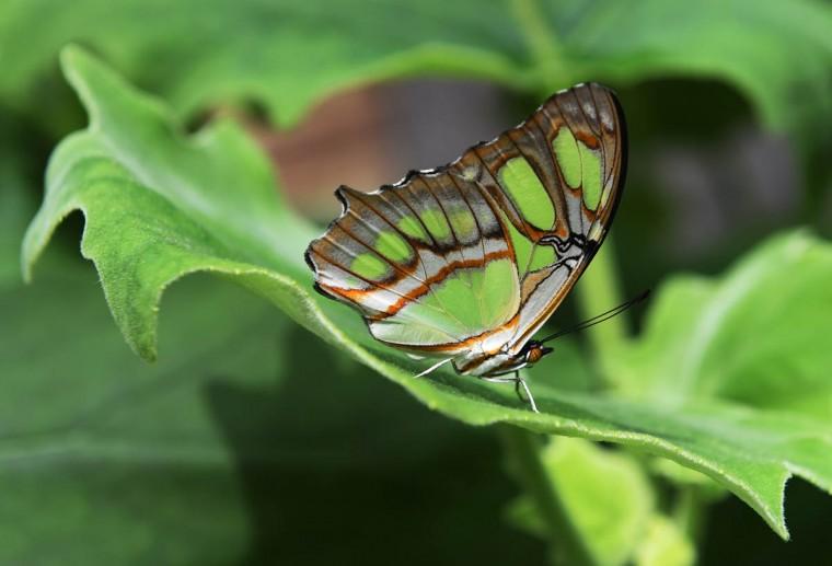 dk-butterflies-p05 Lam