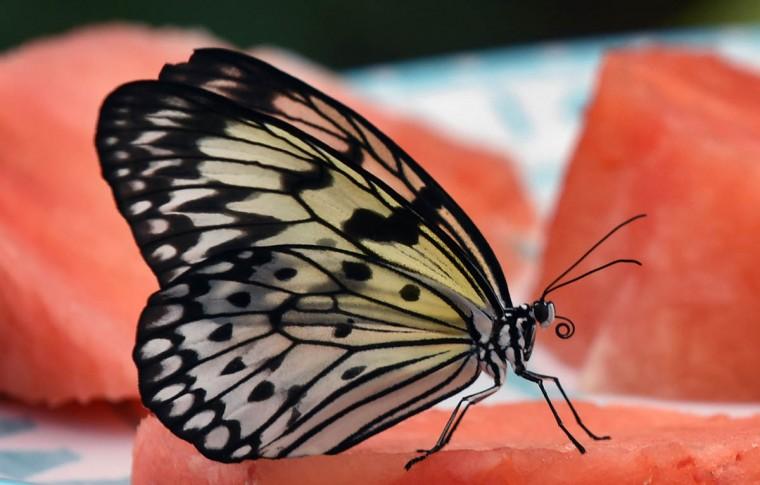 dk-butterflies-p12 Lam