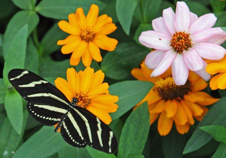 dk-butterflies-p13 Lam
