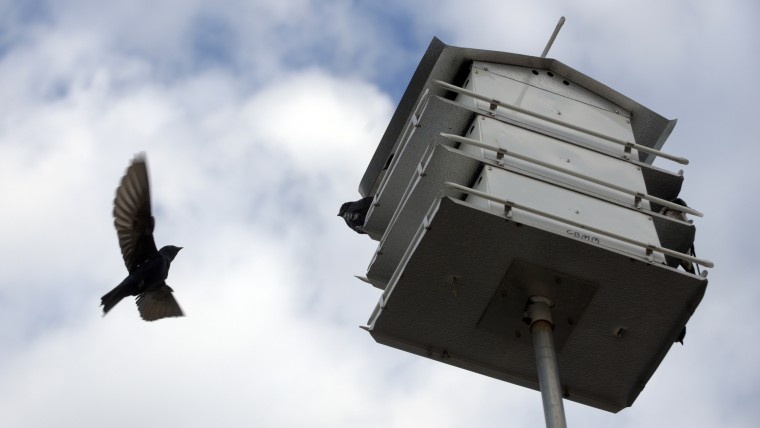 A purple martin heads for a birdhouse on the grounds of Chesapeake Bay Maritime Museum. (Algerina Perna/Baltimore Sun)