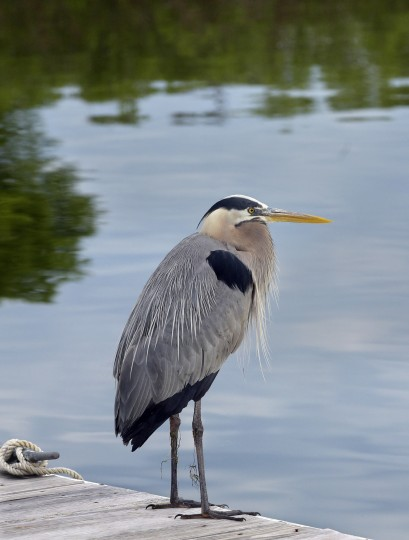 A great blue heron perches on a floating dock.  (Algerina Perna/Baltimore Sun)