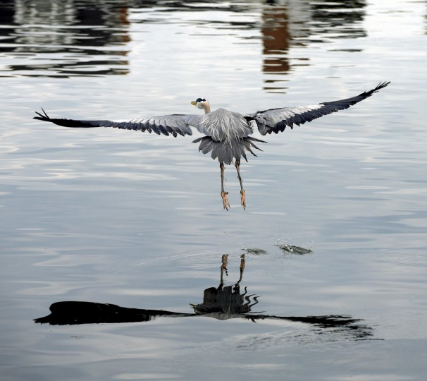 A great blue heron is one of  over 400 species of birds living or migrating to the Chesapeake Bay.  (Algerina Perna/Baltimore Sun)