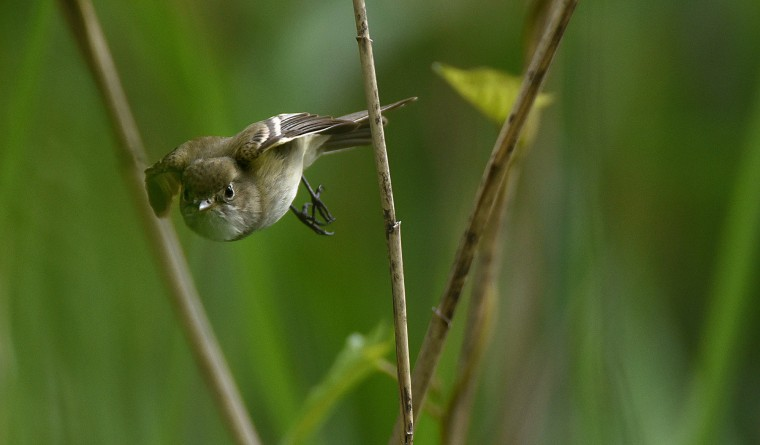 A Least flycatcher darts through the reeds at Patterson Park Sunday. (Jerry Jackson/Baltimore Sun)