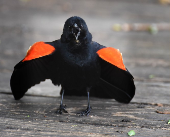 A Red-winged blackbird claims his spot on the boardwalk at Patterson Park. (Jerry Jackson/Baltimore Sun)