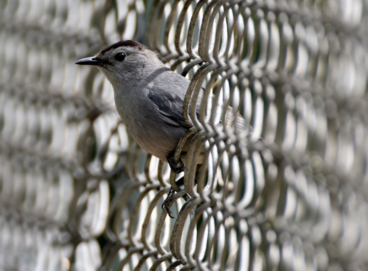 A curious Gray catbird pokes through a chain link fence in Druid Hill Park. (Jerry Jackson/Baltimore Sun)