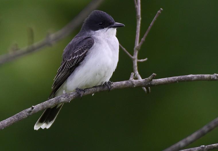 An Eastern kingbird perches a Cylburn Arboretum Sunday afternoon.  (Jerry Jackson/Baltimore Sun)