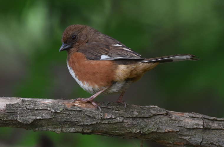 A female Towhee takes a break from foraging on the ground at Patterson Park.  (Jerry Jackson/Baltimore Sun)
