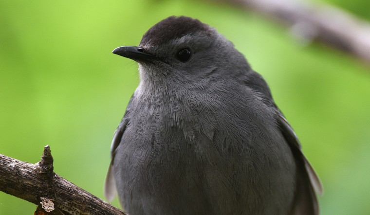 A Gray catbird comes in for a closer look at Patterson Park Sunday morning. (Jerry Jackson/Baltimore Sun)