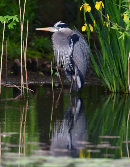 A Great blue heron is content to hang out in the shadows at Patterson Park's boat lake. (Jerry Jackson/Baltimore Sun)