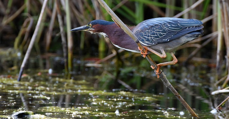 A Green heron eyes a meal in the Patterson Park boat lake Monday afternoon. (Jerry Jackson/Baltimore Sun)