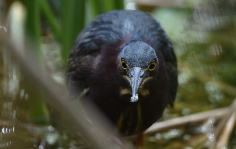 A Green heron lurks in among the cattails at Patterson Park's boat lake. (Jerry Jackson/Baltimore Sun)