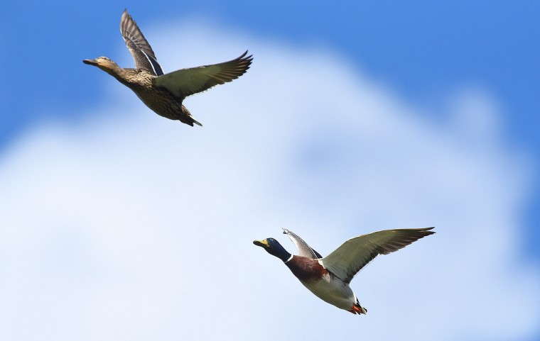 A pair of Mallards fly over the boat lake at Patterson Park. (Jerry Jackson/Baltimore Sun)