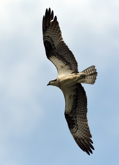 An Osprey soars overhead at Harbor Hospital in Baltimore Sunday afternoon. (Jerry Jackson/Baltimore Sun)