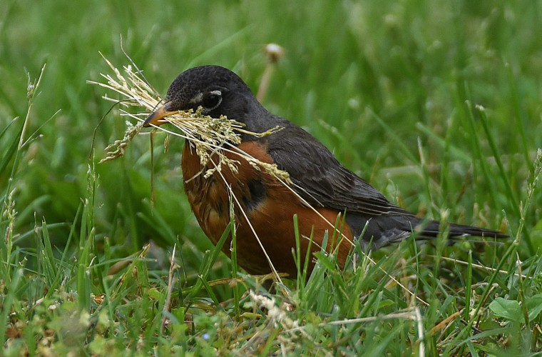An American robin gathers nesting material Sunday morning at Patterson Park. (Jerry Jackson/Baltimore Sun)