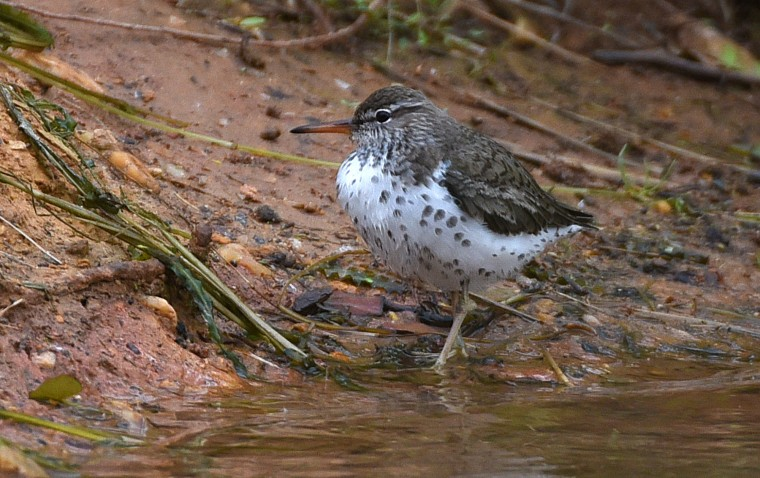 A Spotted sandpiper walks along the edge of the Boat Lake at Patterson Park. (Jerry Jackson/Baltimore Sun)