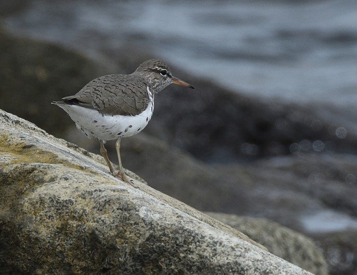 A Spotted sandpiper walks along the water's edge at Fort McHenry. (Jerry Jackson/Baltimore Sun)