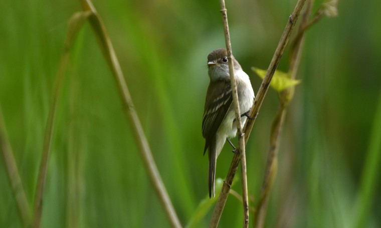 A Least flycatcher perches in the reeds at Patterson Park Sunday. (Jerry Jackson/Baltimore Sun)